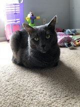 Beautiful Family Cat in Need of a Home in Fort Campbell, Kentucky