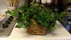 Ivy in basket in Warner Robins, Georgia