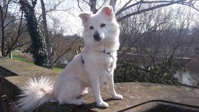 female Pomchi dog is looking for a new family / Pomeranian Chihuahua 3 y/o in Ramstein, Germany