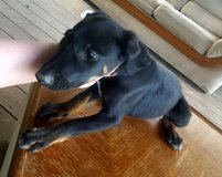 Puppies Black mouth kerr / doberman in Baytown, Texas