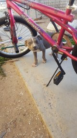 Alpha Blue Male Pitbull Puppy in Barstow, California
