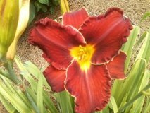 "Daylily ""Vesuvian"" in Warner Robins, Georgia"