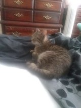 Uncommonly well mannered and snuggly neutered male tabby looking for a forever family who will k... in Fort Campbell, Kentucky