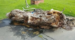 tree trunk (mostly hollow) in Travis AFB, California