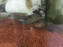 Adult Black Dempsey fish in Grafenwoehr, GE