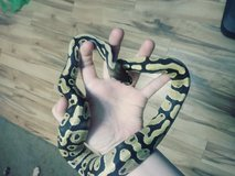 Fire ball python in Byron, Georgia