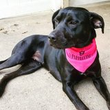 2yr old female Black Lab mix in Leesville, Louisiana