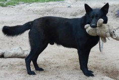 Male German Shepherd needing a new home in Livingston, Texas