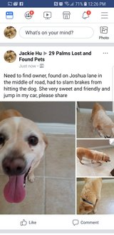 Found older chihuahuas on Joshua lane in Yucca Valley, California