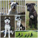 Large Breed Obedience in Little Rock, Arkansas