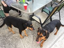 Playful Rottweiler Mix in Conroe, Texas