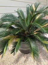 potted saga plant in Kingwood, Texas