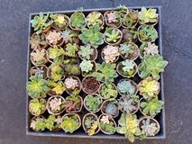 Beautiful succulents in a large variety in Camp Pendleton, California