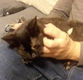 """Abandoned """"tortie"""" type kitten returned to foster home still needs forever family in Fort Campbell, Kentucky"""