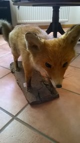 taxidermy standing fox stuffed in Fort Irwin, California