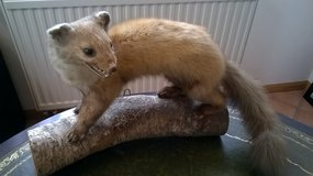 taxidermy standing weasel polecat stuffed in Fort Irwin, California