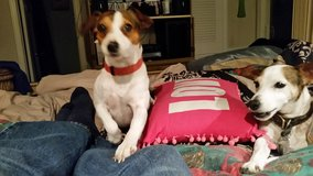 White and brown Jack Russell lost in Camp Lejeune, North Carolina