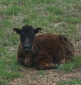 dwarf steer long haired red angus/black angus mix in Fort Leonard Wood, Missouri