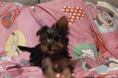 cutest Yorkie package in Cleveland, Texas