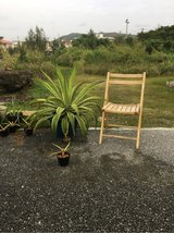 Agave (the small one) in Okinawa, Japan