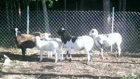Sheep in Beaumont, Texas