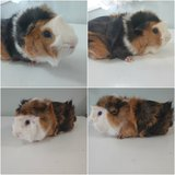 Guinea Pig with Cage in Chicago, Illinois