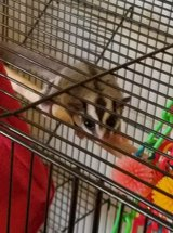 Male sugar glider in Alamogordo, New Mexico