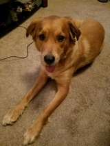 Sweet Long Haired Retriever Looking for Loving Home in Fort Bragg, North Carolina