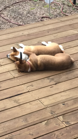 2 Super Sweet Dog Brothers in Cleveland, Texas