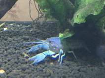Electric Blue Crayfish in Okinawa, Japan