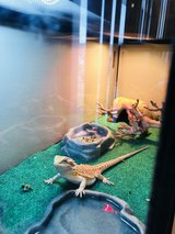 bearded dragon in Fort Knox, Kentucky
