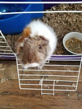 2 Guinea pigs in Fort Campbell, Kentucky