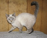 Lynx point Siamese kitten in Fort Irwin, California