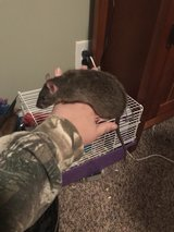 male Rex  dumbo rat in Fort Campbell, Kentucky