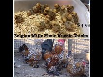 Belgian Mille Fleur D'uccle chicks in Fort Polk, Louisiana