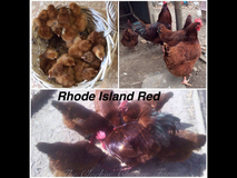 Rhode Island Red or Buff Orpington Chicks in Fort Polk, Louisiana