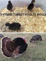 3 Hybrid Turkey Poults in Fort Polk, Louisiana