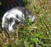 Rabbit mini lop in The Woodlands, Texas