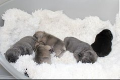 French Bulldog Puppies in Ramstein, Germany