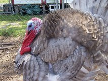 Turkey hatching eggs in Camp Lejeune, North Carolina