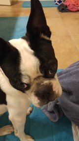 Boston Terrier looking for new home in Alamogordo, New Mexico