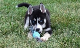 beautiful Siberian huskies puppies male and female for adoption in Birmingham, Alabama