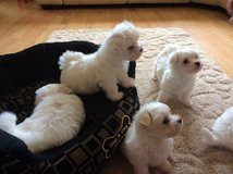 Awesome T-Cup Maltese Puppies Available in Fort Lewis, Washington