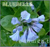 VIRGINIA BLUEBELLS Native Perennial Plants In Pots in Oswego, Illinois