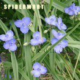 SPIDERWORT Mxd Colors CLUMPS or POTS Perennial plants in Oswego, Illinois