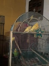 Parakeets for adoption (rescue) in Naperville, Illinois
