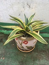 Agave Plant in Okinawa, Japan