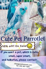 parrotlet, small cute parrot in Kingwood, Texas