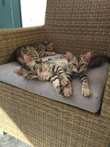 Purebred Bengal Kittens Born on 30 Jan 18 in Spangdahlem, Germany