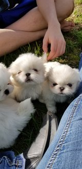pekingese Japanese chin in Fort Lewis, Washington